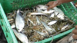 Amazing Net Fishing From River। Catch A Lot of Fish। Fresh Mixed Fish catching