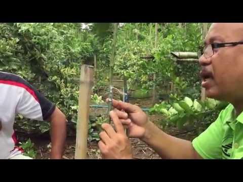 มะนาวนิ้วมือ  วิธีเสียบข้างมะนาวนิ้วมือ บนต้นส้มโอ โทร.๐๘๑๙๘๔๖๕๒๖