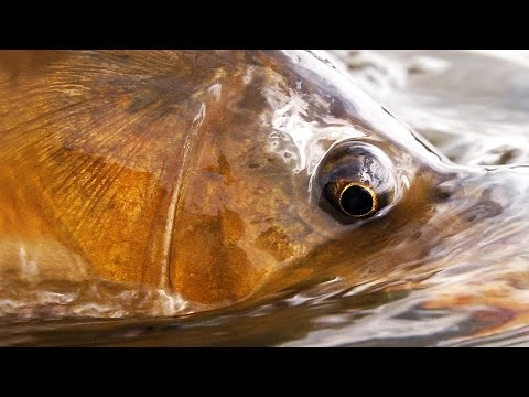 Carp fishing with dry flies! Fly Fishing by Todd Moen