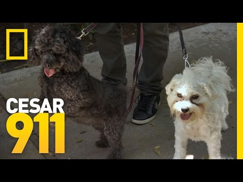 The Trouble with Barking Dogs | Cesar 911