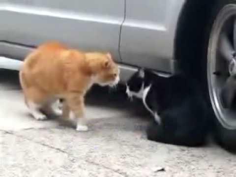Apatimeni gata - Cat fighting (Radio Arvila - ANT1)