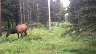 Peaceful ELK. Oh wait...RUN!!! CLOSE ENCOUNTER! Thumbnail