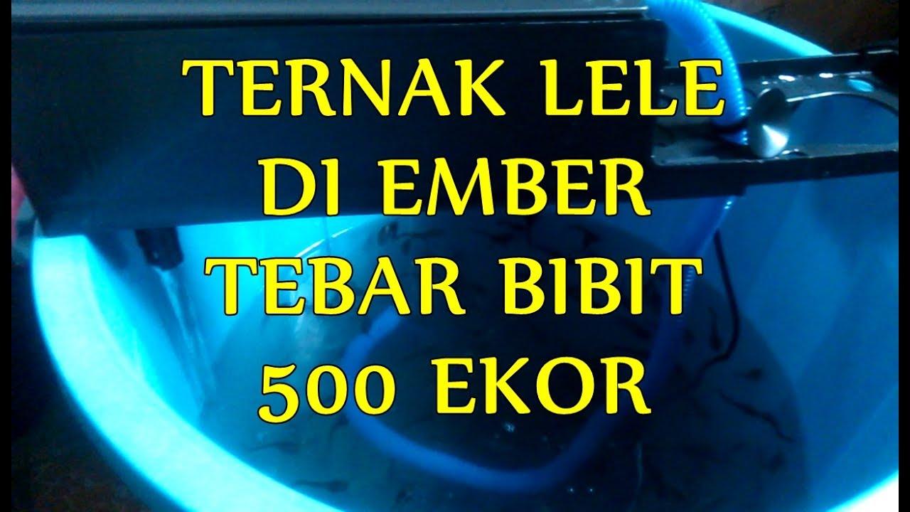 Ternak Lele Dalam Ember - WOow TERNAK LELE pakai Ember ...