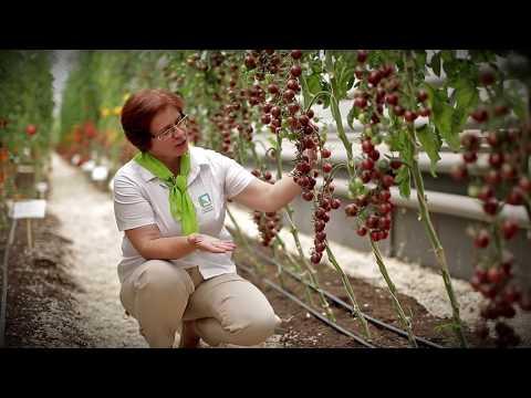 Такого черри томата вы ещё не видели! Томат Черный шоколад!   выращивание   урожайный   помидоры   вкусные   томаты   семена   поиска   черри   томат   самый
