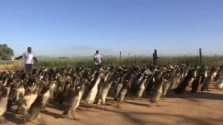 Ducks on Pest Patrol at South African Vineyards