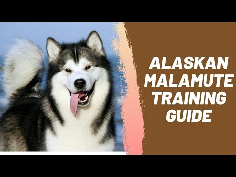 Alaskan Malamute Training Guide