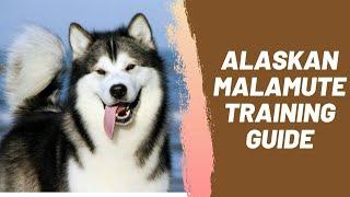 Alaskan Malamute Training Guide