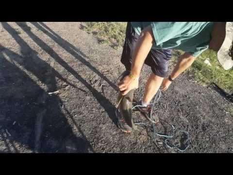 Monster Channel Catfish Catch Isleta Lake New Mexico