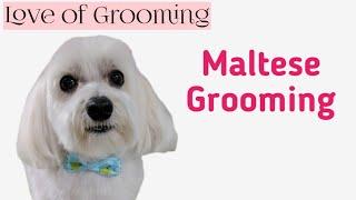 Grooming a Pet Maltese Head