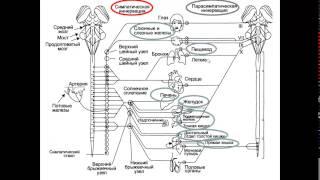 Вегетативная нервная система