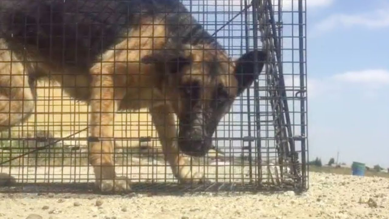 this-german-shepherd-was-in-desperate-need-of-aid-but-a-pit-bull-and-her-friends-had-a-genius-plan