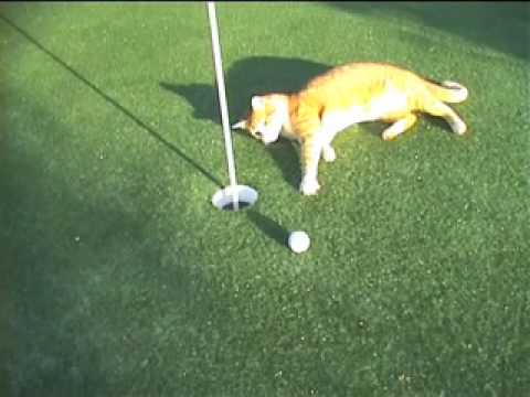 cat plays golf   youtube