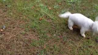 My Rescue Maltese And Bichon Frise From Many Tears Rescue Out For Walkies With Lola