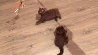 Шоколадные британские котята из питомника. Элитные малыши.