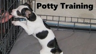 How To Potty Train A Rat Terrier Puppy - Rat Terrier House Training Tips - Rat Terrier Puppies