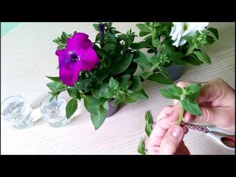 Размножение петунии черенками (вегетативно)! Как быстро размножить петунию!