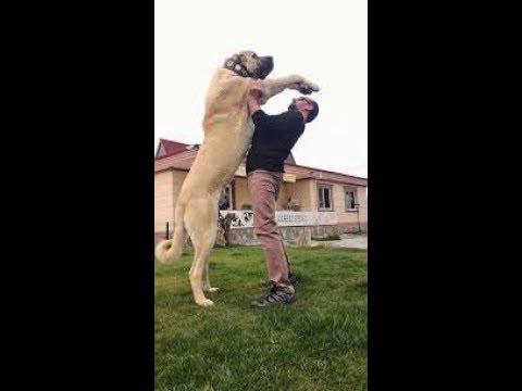 Anatolian Lion,anadolu Aslanı Türk Aslanı Turkish Lion Sivas Kangal/big Shepherd Dog