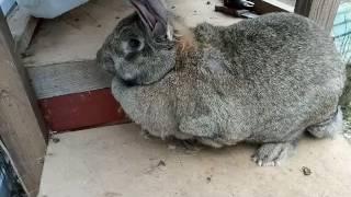 Самые большие кролики