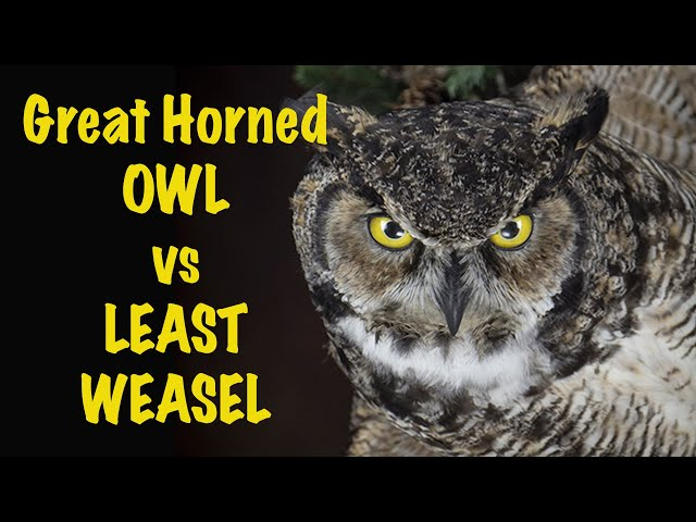 Great Horned Owl with a LEAST weasel. Art of Taxidermy.