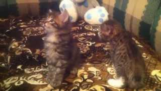 Маленький котенок кусает маму за ноги )))