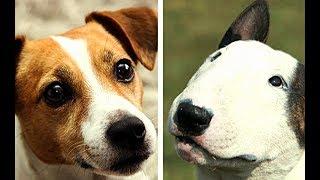 All Terrier Dog Breeds List (AZ)