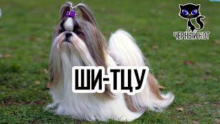 Китайские собачки Ши-тцу / Интересные факты о собаках