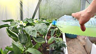 Подкормка и уход за перцем в жару для тройного урожая Как ухаживать за сладким перцем в жару