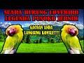 Lovebird Pusoko The Legend Pesaing Lovebird Kusumo  Mp3 - Mp4 Download