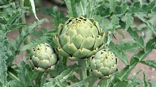 How to Grow Artichokes Start to Finish - Complete Growing Guide