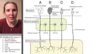 Afferent 2- Sensory receptors
