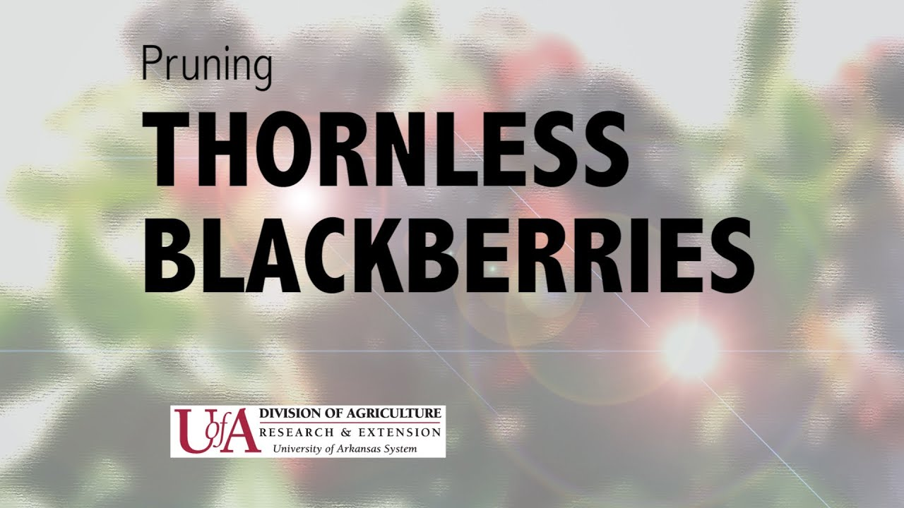 Fruit Pruning Thornless Blackberries Youtube