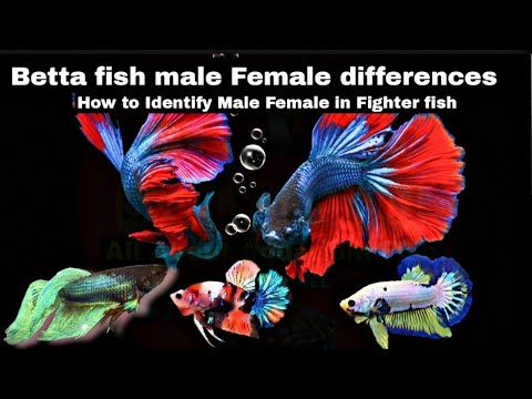 How to know Betta fish male or female in Hindi Urdu with English subtitles thumbnail
