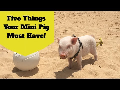 New Mini Pig Owner? Five Things You Must Buy!