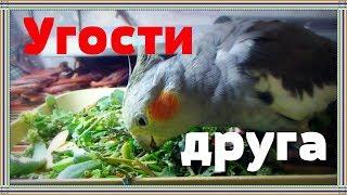 Что предложить попугаю в сентябре. Чем угостить попугая.