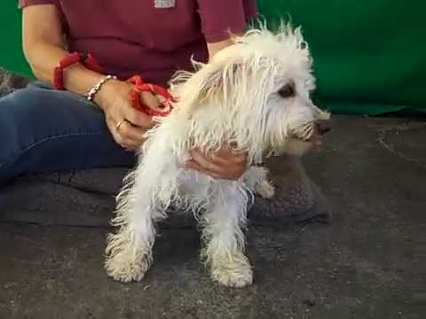 A4867847 Teddy | West Highland White Terrier Dachshund Mix ...