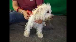 A4867847 Teddy | West Highland White Terrier Dachshund Mix