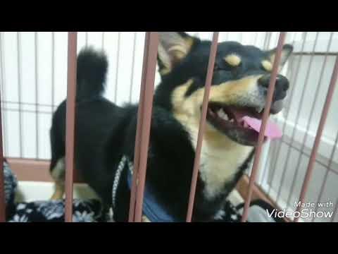 【噛み噛み柴犬×チワワミックス】 before→after Dog Rescue