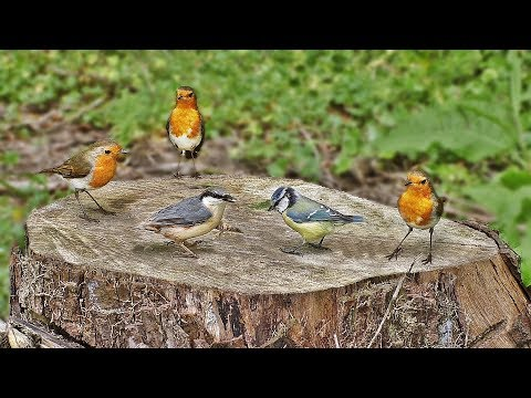 TV for Dogs : Birds on A Tree Stump