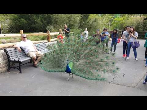 Beautiful blue peacock @ turtle back zoo West Orange