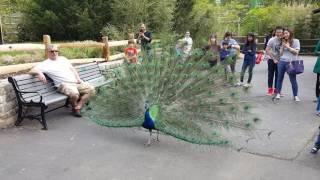 Beautiful blue peacock @ turtle back zoo West Orange