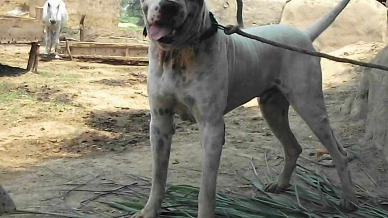 Bully Kutta Male White and Brown - YouTube