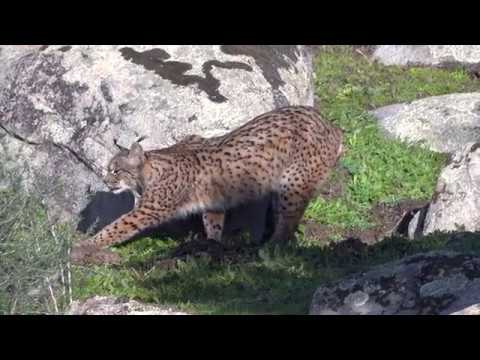 The Search for the Iberian Lynx
