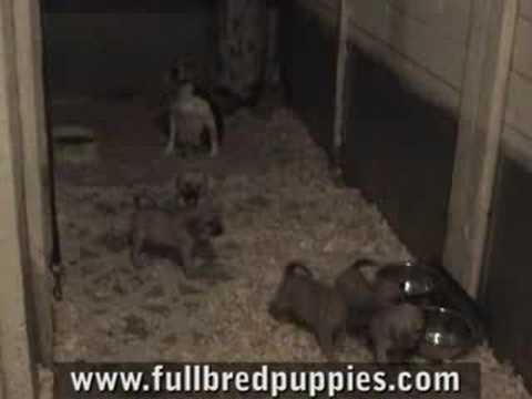 puggles-puppies---buy-a-pet-puggle