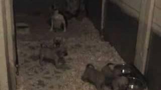 Puggles Puppies - Buy A Pet Puggle