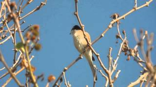 Video 1.5.15 Pie-grièche masquée (Lanius nubicus, Masked Shrike) download MP3, 3GP, MP4, WEBM, AVI, FLV Juli 2018
