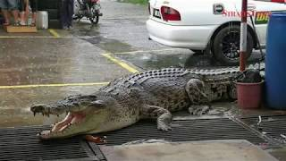 5-metre long crocodile takes centrestage on the streets in Limbang
