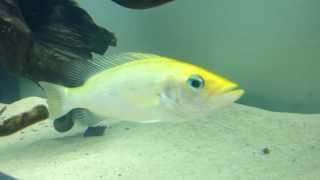 Bay snook cichlid (petenia splendida)