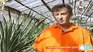 Видео о растении юкка(, 2012-04-24T11:30:51.000Z)