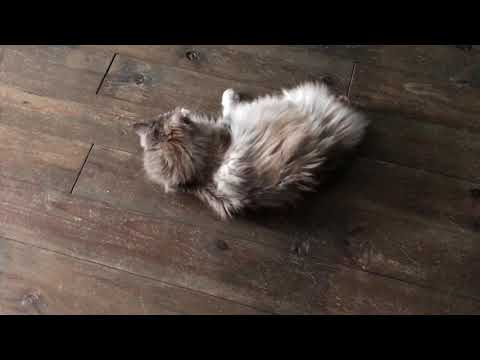 Maine Coon cat loves playing with new toy ( CrazyCoonsNL )