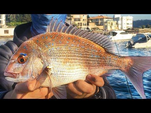 Sydney Landbased SNAPPER FISHING MADNESS!!